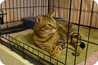 Domestic Shorthair Cat for adoption in Pt orange, Florida - Kyle
