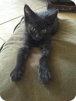 Domestic Shorthair Kitten for adoption in Fountain Hills, Arizona - LYRIC