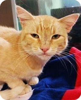 Domestic Shorthair Cat for adoption in Fort Smith, Arkansas - Chinook