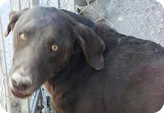 Labrador Retriever Dog for adoption in Las Vegas, Nevada - Hershey
