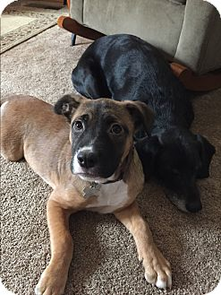 Labrador Retriever/German Shepherd Dog Mix Puppy for adoption in Richmond, Virginia - Nora