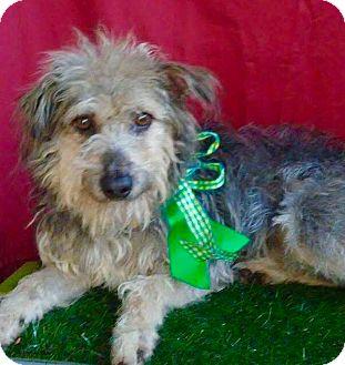 Schnauzer (Standard)/Terrier (Unknown Type, Small) Mix Dog for adoption in Santa Monica, California - ROCKY