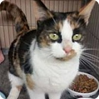 Calico Cat for adoption in Troy, Michigan - Clover