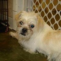 Adopt A Pet :: SCRUFFY - Poteau, OK