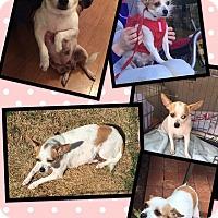 Adopt A Pet :: Whitney - Scottsdale, AZ