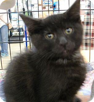 Domestic Shorthair Kitten for adoption in Castro Valley, California - Onyx