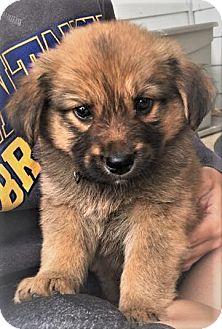Australian Shepherd/Retriever (Unknown Type) Mix Puppy for adoption in Columbus, Ohio - Twizzler