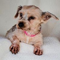 Adopt A Pet :: Cierra - Pueblo, CO