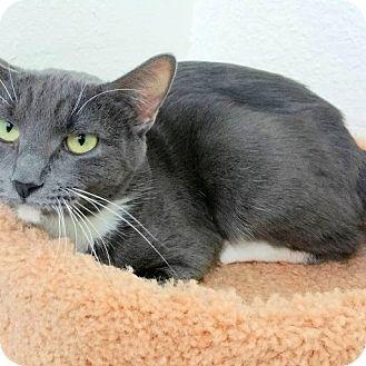 Manx Cat for adoption in Casa Grande, Arizona - Tula