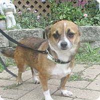 Chihuahua Mix Dog for adoption in West Chicago, Illinois - Quad