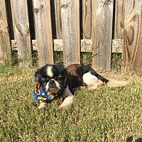 Adopt A Pet :: Rigsby Harligen - Houston, TX