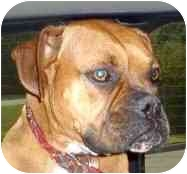 Boxer Dog for adoption in W. Columbia, South Carolina - Maggie