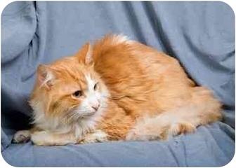 Domestic Mediumhair Cat for adoption in Anna, Illinois - DEXTER