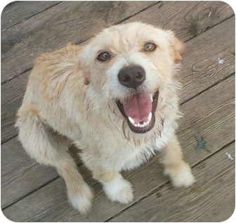 Golden Retriever/Terrier (Unknown Type, Medium) Mix Puppy for adoption in New Jersey, New Jersey - NJ - Pattie