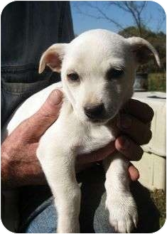 Chihuahua Mix Puppy for adoption in Plainfield, Connecticut - Sammy