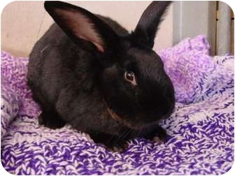 American Mix for adoption in Ellington, Connecticut - Bunny Rabbit