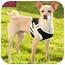 Photo 3 - Whippet/Basenji Mix Dog for adoption in Marina del Rey, California - Poindexter