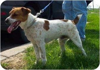 Jack Russell Terrier Dog for adoption in Omaha, Nebraska - Eddie