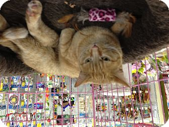 Domestic Shorthair Cat for adoption in West Dundee, Illinois - Ms Mustard