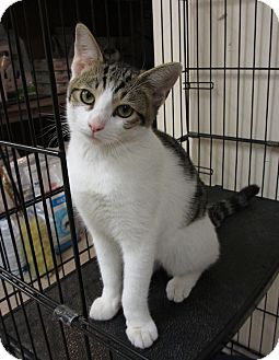 Domestic Shorthair Kitten for adoption in Hamilton, New Jersey - NOOKIE