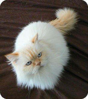 Himalayan Cat for adoption in Davis, California - Pierre