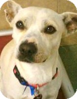 Beagle Mix Dog for adoption in Los Angeles, California - Tanner *VIDEO*