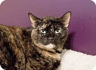 Domestic Shorthair Cat for adoption in Carencro, Louisiana - Cherry