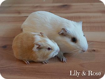 Guinea Pig for adoption in Brooklyn Park, Minnesota - Lily & Rose