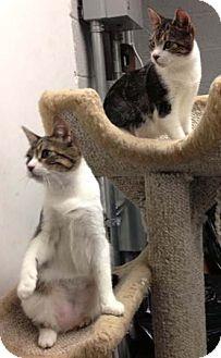 Domestic Shorthair Kitten for adoption in Merrifield, Virginia - Penelope