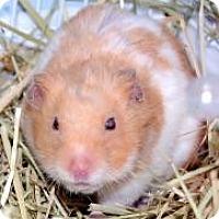 Adopt A Pet :: Hamsters - Brooklyn, NY