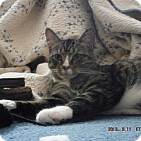 Adopt A Pet :: Mittens - Saint Albans, WV
