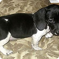 Adopt A Pet :: Polly - Chicago, IL