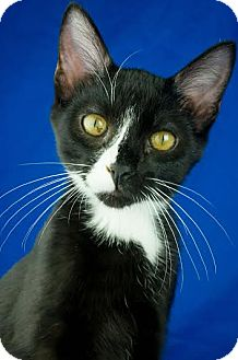 Domestic Shorthair Kitten for adoption in Columbia, Illinois - Garbonzo