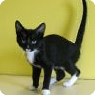 Domestic Shorthair Cat for adoption in Powell, Ohio - Dolan