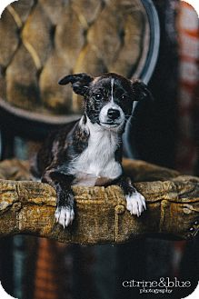 Beagle/Jack Russell Terrier Mix Puppy for adoption in Portland, Oregon - Dolly