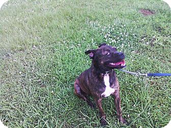 Boxer Mix Dog for adoption in Florence, Alabama - Arzu
