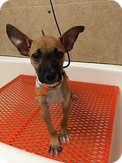 Shepherd (Unknown Type) Mix Puppy for adoption in Ft. Lauderdale, Florida - Glenn