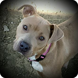 American Pit Bull Terrier Mix Dog for adoption in Kewanee, Illinois - Pumpkin
