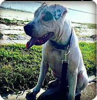 Pit Bull Terrier Mix Dog for adoption in Riverview, Florida - Aspen