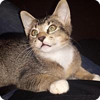 Adopt A Pet :: Cappucino Ticked fur tabby - McDonough, GA