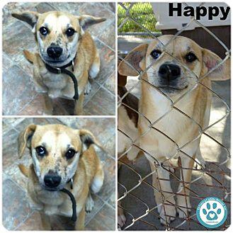 Labrador Retriever Mix Puppy for adoption in Kimberton, Pennsylvania - Happy