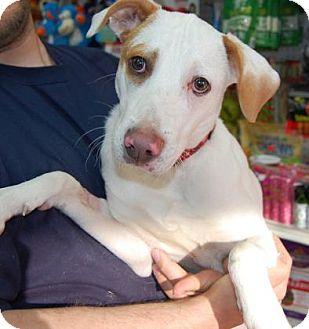 Hound (Unknown Type) Mix Puppy for adoption in Brooklyn, New York - Smoothie
