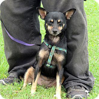 Miniature Pinscher/Chihuahua Mix Dog for adoption in Prague, Oklahoma - India