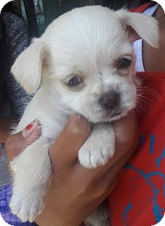 Shih Tzu Mix Puppy for adoption in Fremont, California - Buster