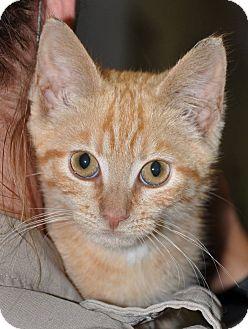 Domestic Shorthair Kitten for adoption in Hopewell, Virginia - Amadeus