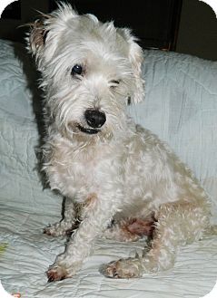 Maltese/Bichon Frise Mix Dog for adoption in Umatilla, Florida - Harry