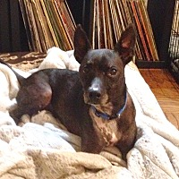 Boston Terrier/Mexican Hairless Mix Dog for adoption in Courtland, Alabama - Riley