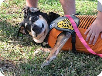 Hound (Unknown Type)/German Shepherd Dog Mix Dog for adoption in Hazlet, New Jersey - Cookie