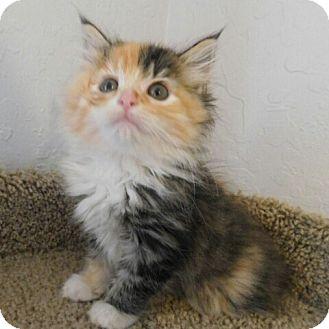 Maine Coon Kitten for adoption in Davis, California - Lollipop