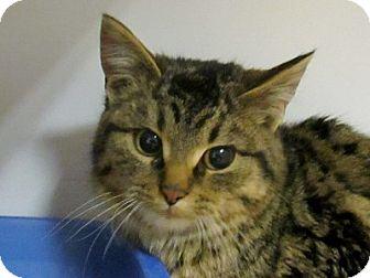Domestic Shorthair Cat for adoption in Lloydminster, Alberta - Kermit